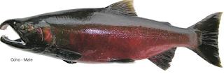 Jenis Jenis Ikan Salmon