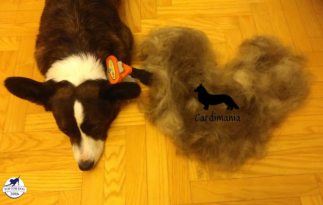 furminator, czesanie psa, jak wyczesać psa, linienie psa, liniejący pies. pies gubi włos, czym czesać psa, jak czesać psa, czesanie psa