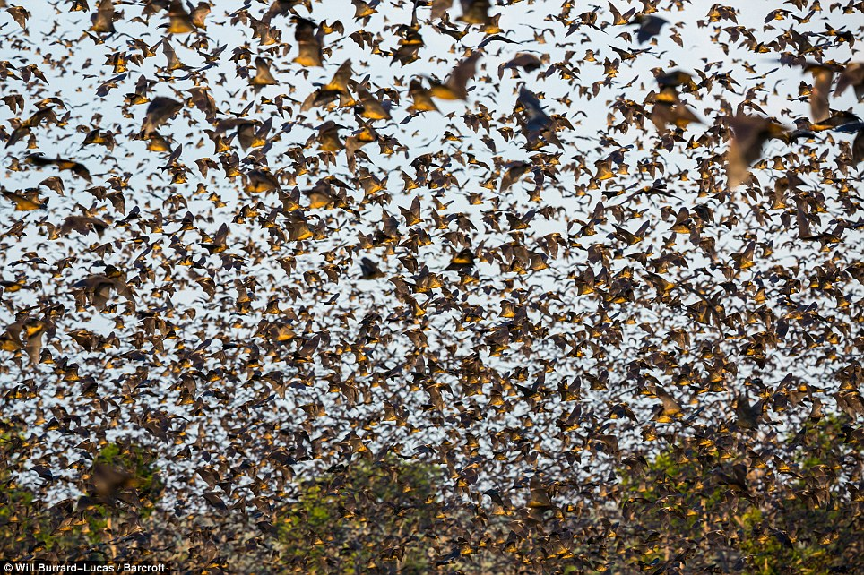 White Wolf Spectacular Scenes As Eight Million Bats
