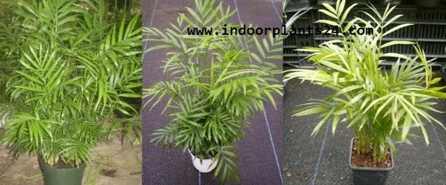 Chamaedorea Elegans Palmae plant image