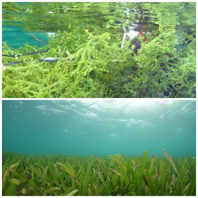 Rumput Laut dan Lamun