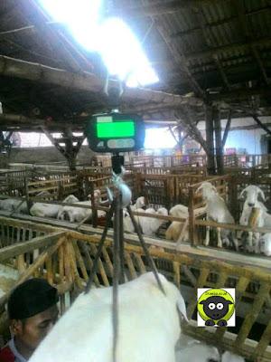 Harga Domba dan Kambing Qurban Jember