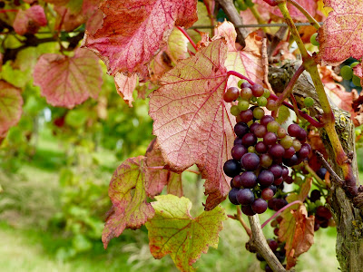 Grawnwin Rondo Pant Du Grapes