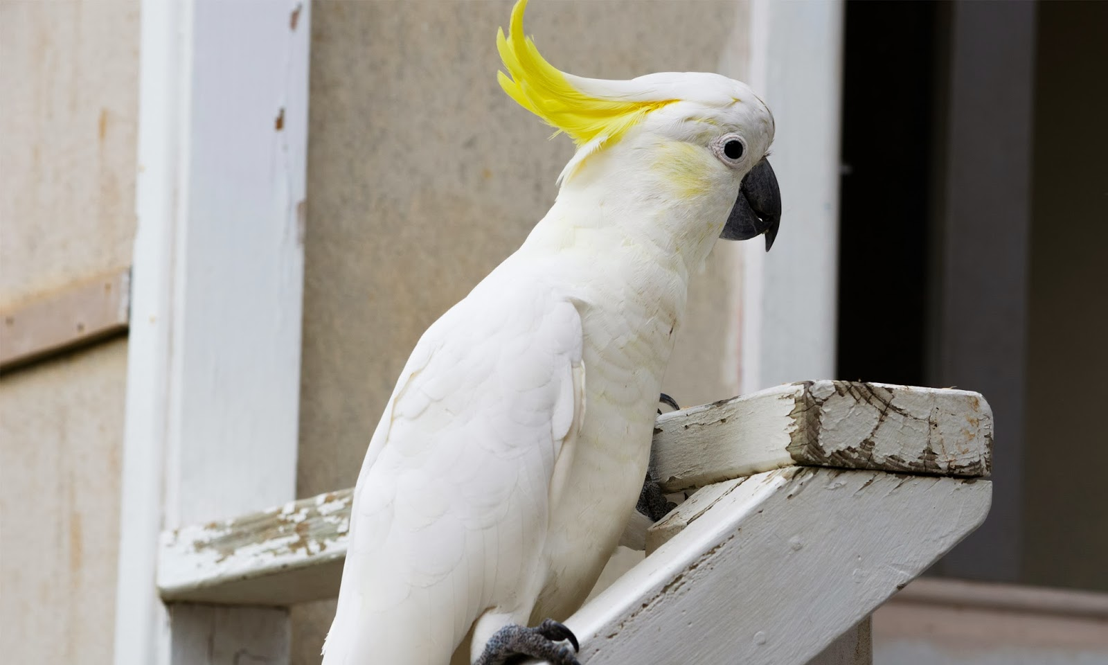 Sulphur Crested Cockatoo Hd Wallpapers