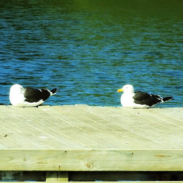 Aves em trapiche na Costa da Lagoa, Florianópolis.