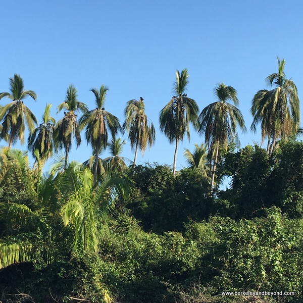 row of tall palms at La Tovara Nature Reserve in San Blas, Mexico