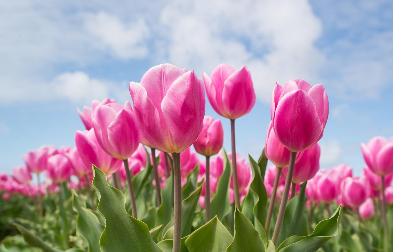 Koleksi Gambar Bunga Tulip Mekar Indah Dipandang