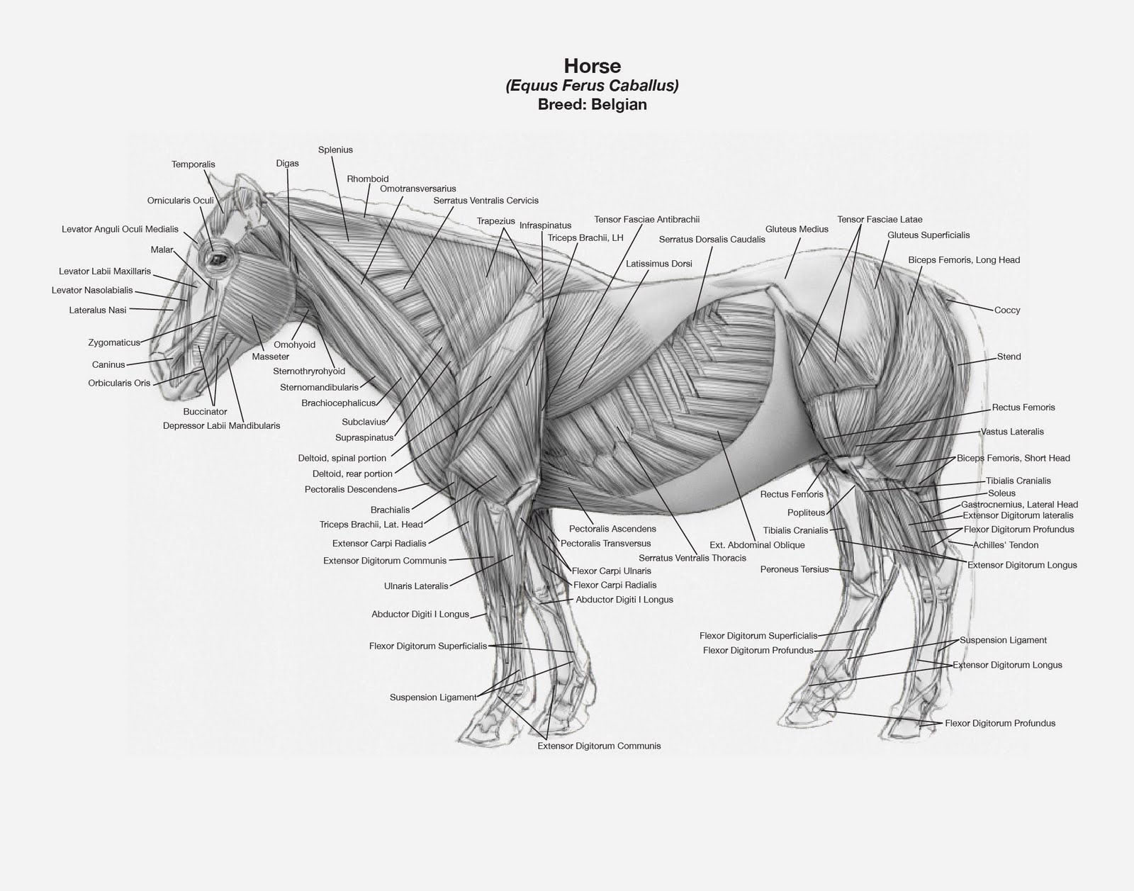Jkt Art Introduction To Animal Drawing And Anatomy