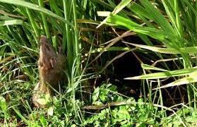 Cara-Pengendalian-Hama-Tikus-Dengan-Rodentisida