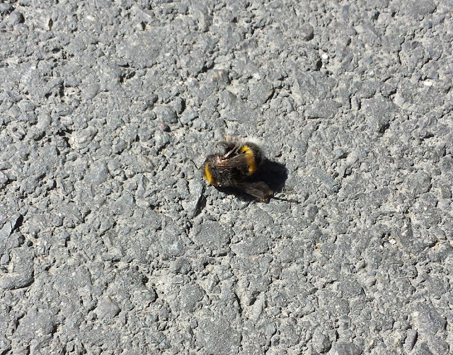 Poor dead bumblebee in downtown Oslo