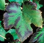 Potassium pour la fertilisation de la vigne.