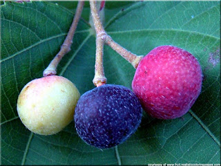Phalsa fruit pictures scientific name is Grewia subinaequalis