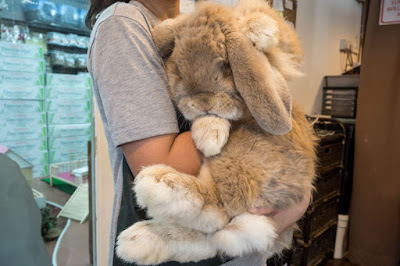 French Lops are huge Rabbits