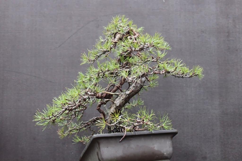 bonsai træer til salg