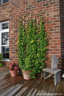 black eyed susan vine colors and information