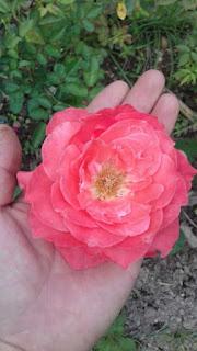 hoa hồng màu vàng cam cổ đà lạt