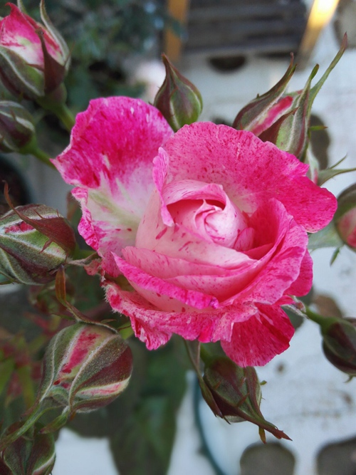 Hồng ngoại Lady Candle rose, khi trưởng thành hay nở hoa thành từng chùm từ 3-5 bông