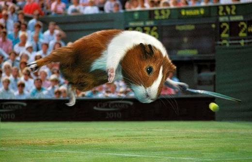 Latest Funny Pictures: Funny Guinea Pig Pictures
