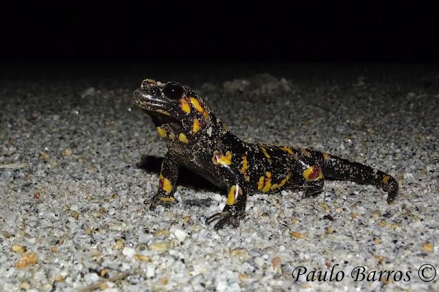 Salamandra Común