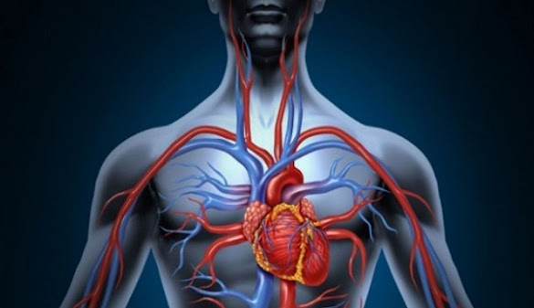 Sistem Peredaran Darah (Sirkulasi) Manusia