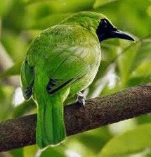 4 Jenis Penyakit Burung Cucak Ijo Dan Cara Mengobatinya Paling Lengkap