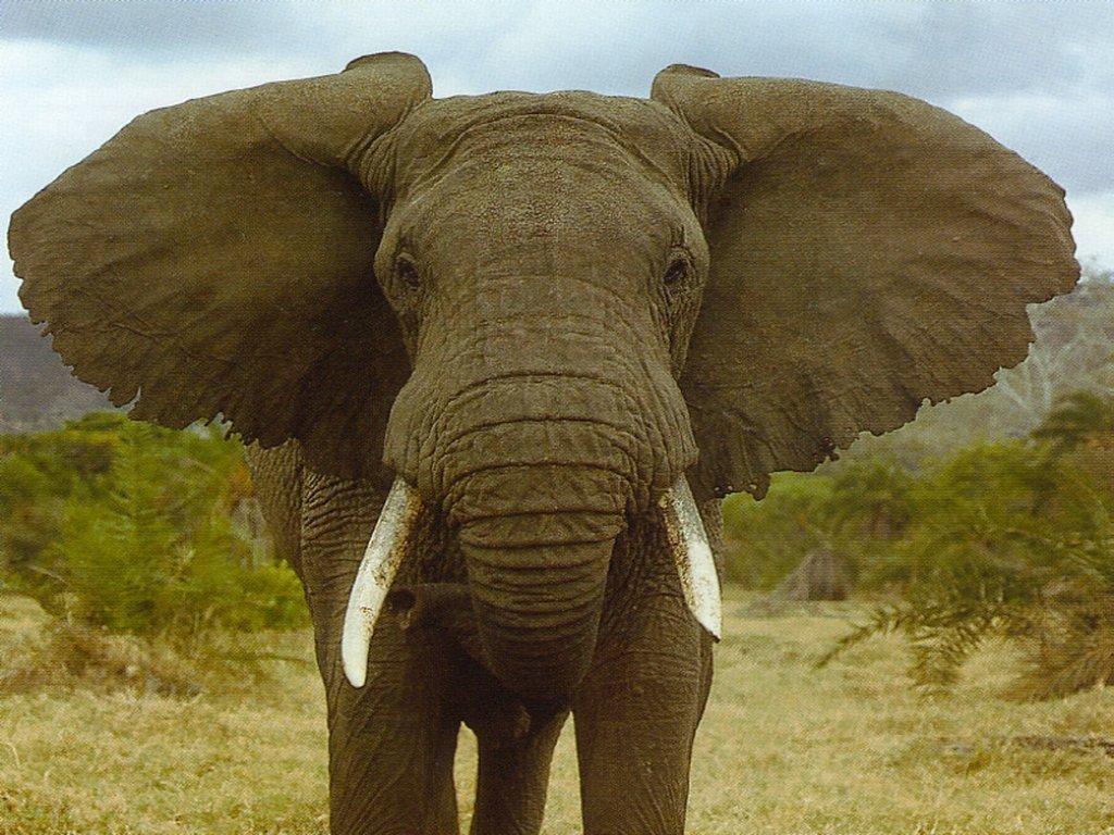 Faqbio Apoio Ao Estudo De Biologia Os Elefantes