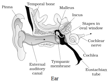 Diagram of Ear