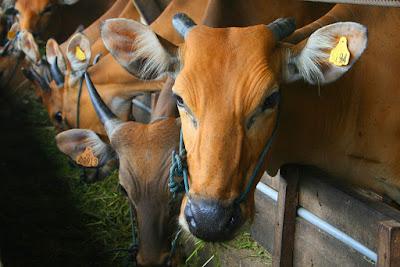 Arti Mimpi Lembu Lengkap Tafsir Angka Togel