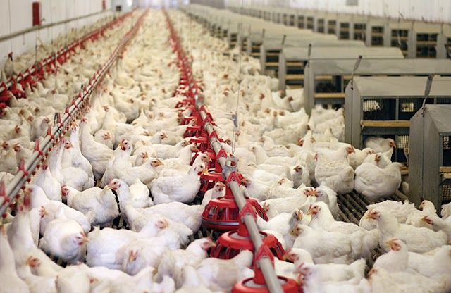 Sokoto State Governor, Aminu Tambuwal Appoints Special Adviser On Poultry