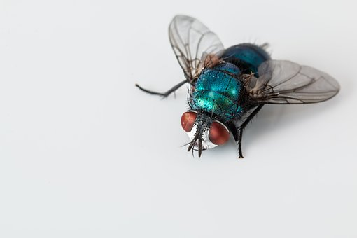 Laporan Praktikum Pertumbuhan dan Perkembangan Lalat