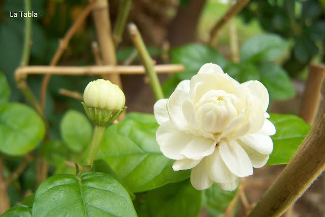 Jasminum sambac 'Duque de Toscana', diamela, jazmín de Arabia