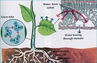 http://www.salampendidikan.com/2017/09/peran-transpirasi-bagi-tumbuhan.html