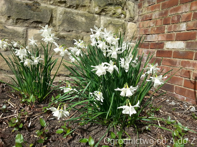 Narcissus 'Thalia'