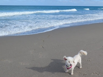 My dog at Juno Beach, Florida.  Dogs love the beach, Juno Beach is mostly a dog friendly beach in Florida