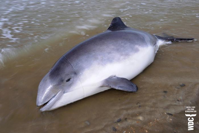 Beifang: Schweinswal mit Netzmarken