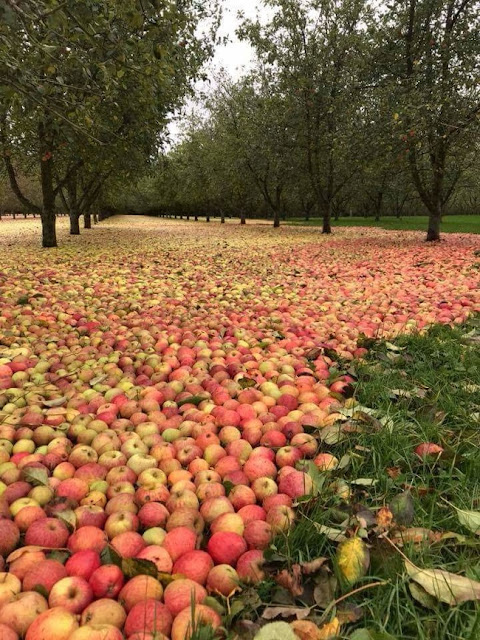 Hurricane Ophelia took all the apples down from the trees