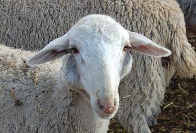 absceso externo en ovino