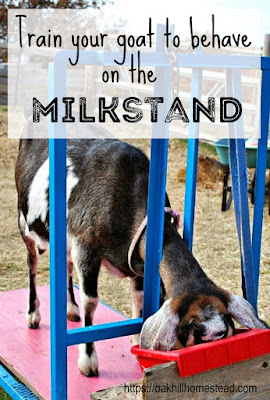 How to train your goat to behave politely on the milkstand.