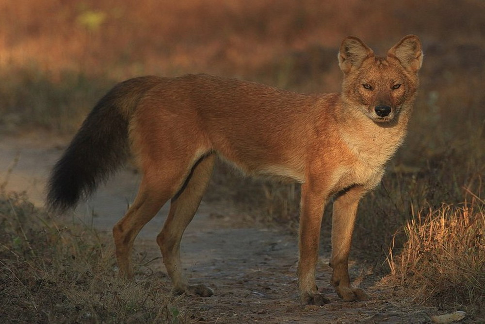 Dhole or Wild dog