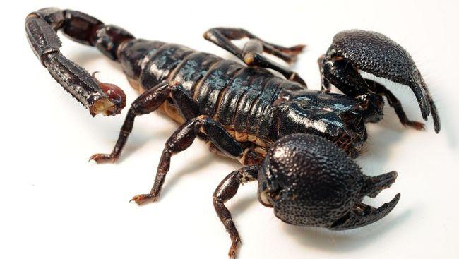 Hasil gambar untuk camilang serangga