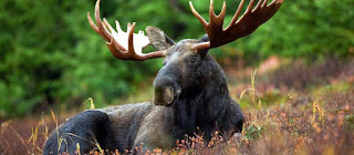 Barbecue of meat elk or deer