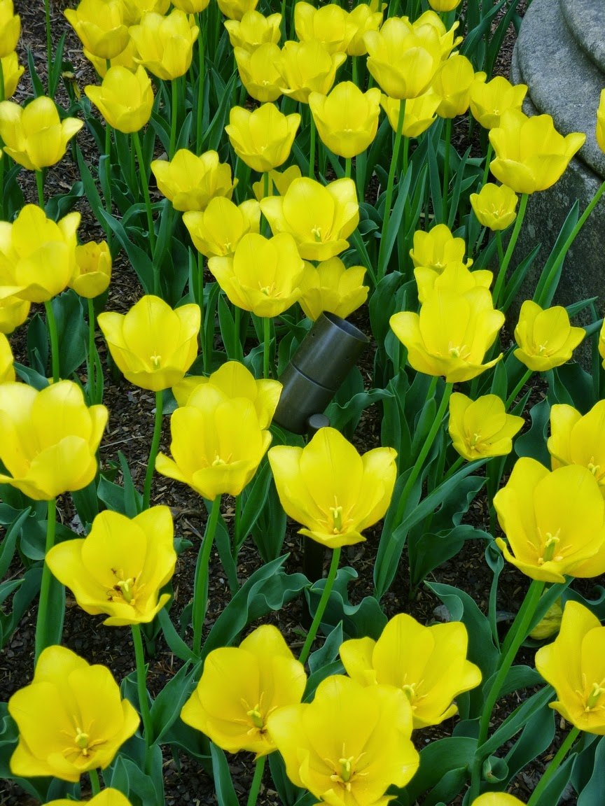 一片性格开朗的黄色郁金香