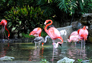 FLAMANTS ROSE BAHAMAS