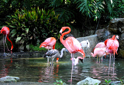 Flamants rose aux Bahamas