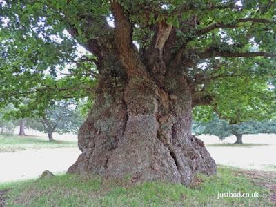Old Oak Tree, Ripley Castle Estate, North Yorkshire