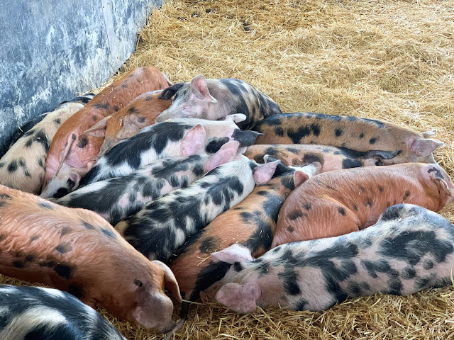 A pile of black spotted large piglets