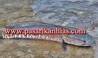 Tempat Pelatihan Budidaya Ikan Gabus