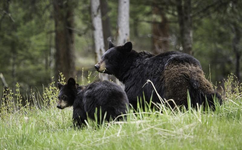 Urso negro e cria