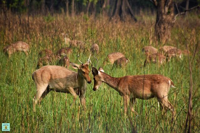 Ciervos en Parque Nacional de Bardia, Nepal