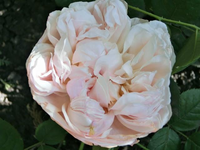 Saint Swithun Devid Austin, розы остинки, розы Дэвида Остина, розарии, сочетания роз